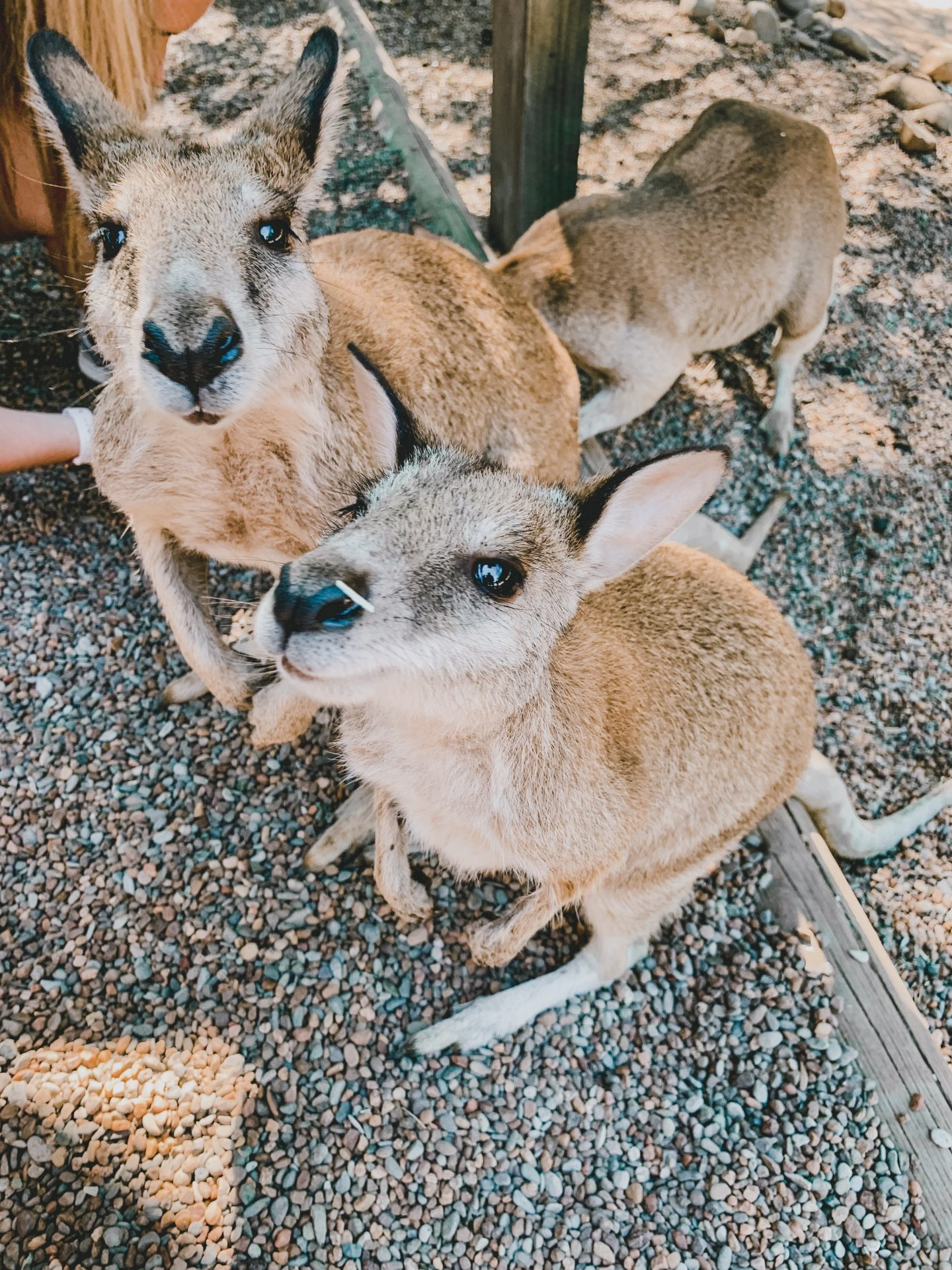 Feeding kangaroos at Featherdale Wildlife Sanctuary in Sydney, Australia!