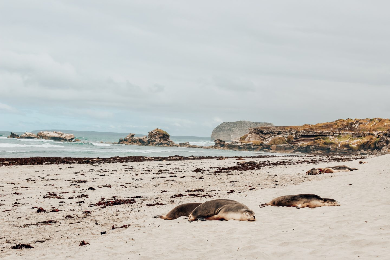 Photo of sleeping seals at Seal Bay on Kangaroo Island in South Australia!
