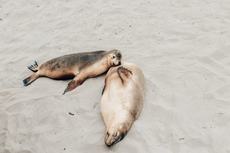 Photo of mama & pup seals at Seal Bay on Kangaroo Island in South Australia!