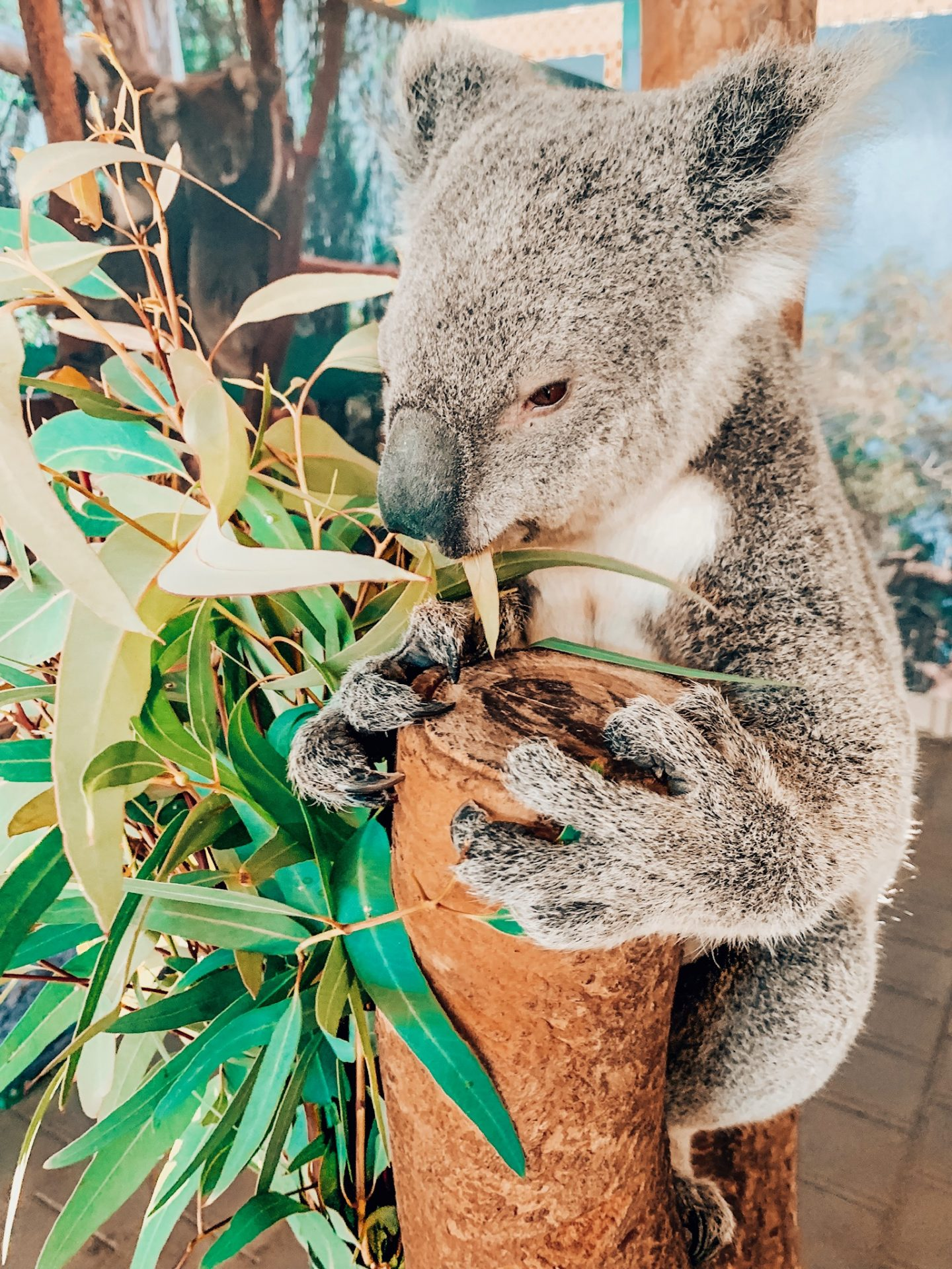 Meeting a koala at an animal sanctuary in Perth!