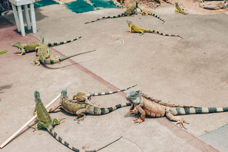 Wild iguanas in St. Maarten
